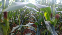 Dolly / forward walking motion shot from within a field of corn / maize Stock Footage