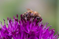 Bee on an Allium Flower - stock photo