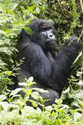 Silverback Mountain Gorilla Stock Photos