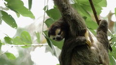 Male three-toed sloth scratching Stock Footage