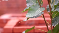 Rain drops on pipal leafs Stock Footage