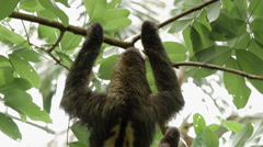 Male three-toed sloth climbing tree 1 Stock Footage