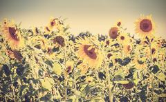 Retro vintage toned nature background made of sunflowers. Stock Photos