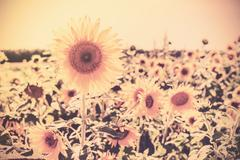 Retro sepia toned sunflowers. nature background. - stock photo