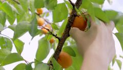 Apricot summer harvest gathering Stock Footage