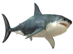 Great White Shark Female Piirros