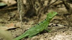Female Emerald Basilisk in wild 2 Stock Footage