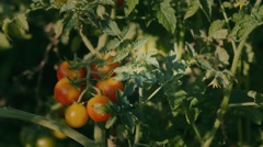 Pluck a branch of tomatoes Stock Footage