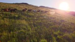 Aerial Herd Of Wild Horses Running On Hill Toward Sunset Mountain View Close Fly Stock Footage