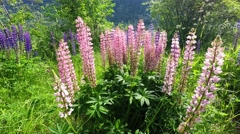 Typical Norwegian Lupin Lupine flowers in the Summer Stock Footage