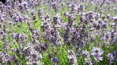 Lavender Bush in Summer with bees - stock footage