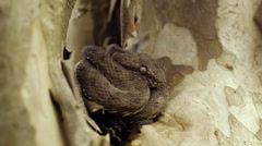 Eyelash viper breathing and flicking tongue - stock footage