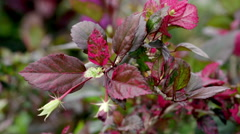 Stock Video Footage of Purple leafy plant with flower bud