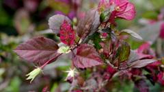 Purple leafy plant with flower bud - stock footage