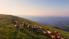 Aerial Shot Fly Over Animals Horses Running On Green Meadow Summer Field Hill Stock Footage
