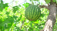 Small watermelon in the garden close-up Stock Footage