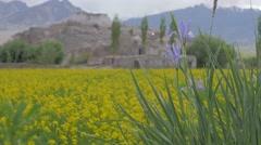 Wild flower with barley field and Stakna monastary,Stakna,Ladakh,India Stock Footage
