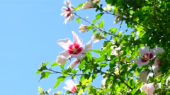 White decorative flowers in the garden and copyspace on clear sky Stock Footage