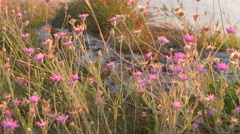 Desert field with violet wild flowers on Crimean peninsula Stock Footage