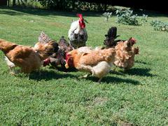 Hens in the poultry yard. - stock photo