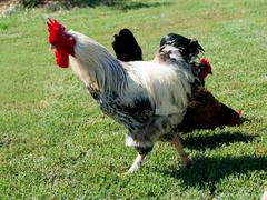 The big white cock ruler of the yard. Stock Photos