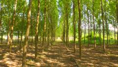 Nature Trees Corridor Tracking Shot Beauty Nature Young Forest Pass Through - stock footage