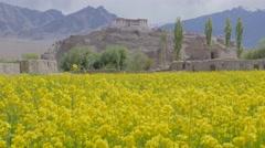 Yellow barley fields with Stakna monastary,Stakna,Ladakh,India Stock Footage