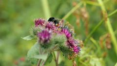Big bumblebee pollinates flowers of burdock Stock Footage
