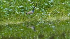 Bronze-winged Jacana flying off Stock Footage