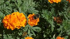 Bumblebee on flower Stock Footage