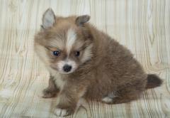 Pomeranian spitz Stock Photos