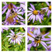 Bees collecting pollen on Alpine Aster - stock photo