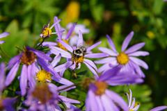 Bee collecting pollen on Alpine Aster - stock photo