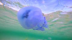 Underwater life of Black Sea blue barrel jellyfish Rhizostoma pulmo swimming - stock footage