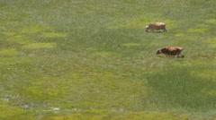 Cows graze in marschy field,Shey,Ladakh,India Stock Footage