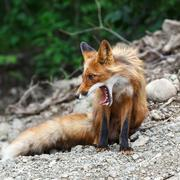 Beautiful red fox with open mouth - stock photo
