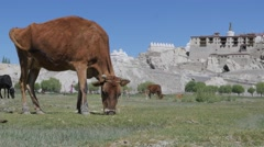Cows graze in field with Shey palace in background,Shey,Ladakh,India Stock Footage