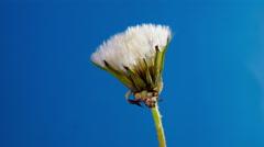 Dandelion flower Stock Footage