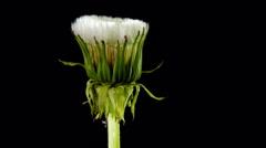 dandelion flower - stock footage