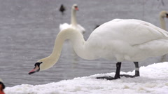 Swans Grazing Snow On Lakeshore And Flapping Wings In Water Stock Footage