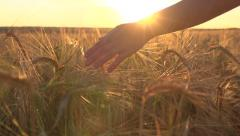 A young woman's hand running through wheat field. Girl's hand touching wheat Stock Footage