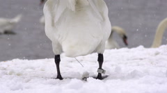 White Swan Shaking Its Tail While Snowing Stock Footage