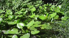 Yellow Nuphar Lutea in the  Pond Stock Footage