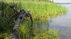 Uprooted Tree and Reeds in the River Stock Footage
