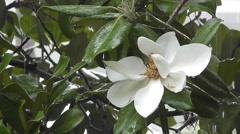 Amid Nature - Magnolia Tree Flower in the Rain Stock Footage