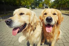 Two golden retriever dogs on the old road. Stock Photos