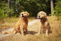 Two golden retriever dogs are sitting in forest. - stock photo