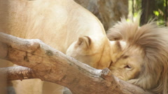 Stock Video Footage of white lions in the cage