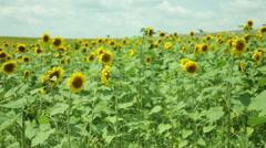 sunflower field fly  - stock footage