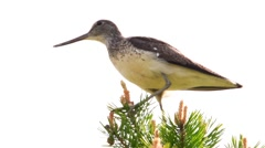 Greenshank on a tree Stock Footage
